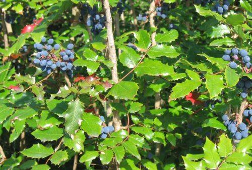 mahonia aquifolium plant used to treat psoriasis