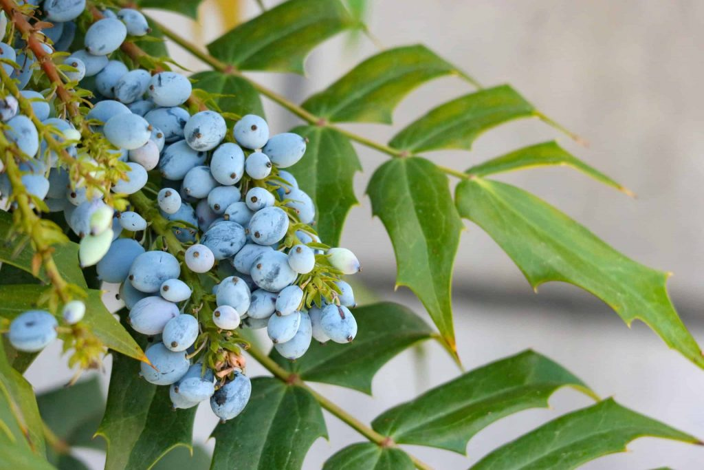 """5 ways mahonia aquifolium can help treat psoriasis"""